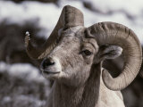 A Close View of the Face of a Bighorn Sheep Ram Photographic Print by Tom Murphy