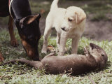 A Young South American River Otter is Investigated by Two Dogs Photographic Print by Nicole Duplaix