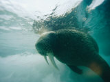 An Underwater View of an Atlantic Walrus Photographic Print by Norbert Rosing