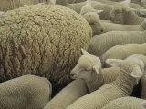 Sheep and Lambs in Pen Photographie par Joel Sartore