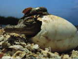 A Close View of an American Crocodile Emerging from its Egg Shell Photographie par Steve Winter