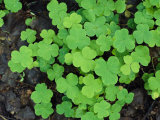 A Cluster of Bright Green Shamrocks Photographic Print by Norbert Rosing