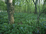 Virginia Bluebells Around a Tree in Rock Creek Park Photographic Print by Taylor S. Kennedy