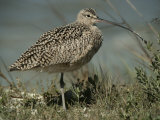 Close View of a Curlew Photographic Print by Bates Littlehales