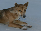 A Dingo Rests on a Sandy Spot of Beach Photographic Print by Nicole Duplaix