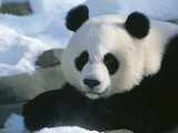 A Panda at the National Zoo in Washington, Dc Photographic Print by Taylor S. Kennedy