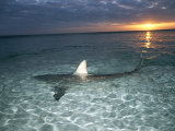 Blacktip Shark Fins, Carcharhinus Limbatus, Slice the Waters Surface Photographic Print by Brian J. Skerry