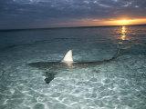 Squali pinna nera (Carcharhinus limbatus) fendono la superficie dell'acqua Stampa fotografica di Skerry, Brian J.