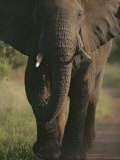 A Portrait of an African Elephant, Loxodonta Africana, Walking Photographic Print by Tim Laman