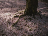 Soft Light on a Pink Carpet of Fallen Cherry Blossoms Photographic Print by Stephen St. John
