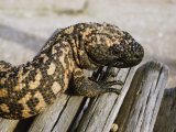 Close View of a Gila Monster Photographic Print by Walter Meayers Edwards