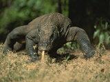 A Komodo Dragon Sensing the Air with its Tongue as it Prowls Fotodruck von Tim Laman