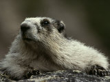 A Hoary Marmot on Alert for Predators Photographic Print by Paul Nicklen