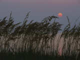 Grasses Silhouetted against the Setting Sun Photographic Print by Medford Taylor