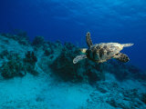 A Hawksbill Turtle Swims Along a Reef Fotografisk tryk af Raul Touzon