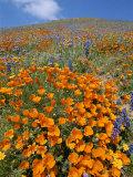 Papaveri della California e lupini riempiono il paesaggio di luce dorata Stampa fotografica di Rich Reid