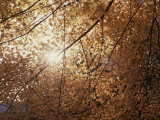 Sun Peeks Through a Canopy of Yellow Autumn Leaves Photographic Print by Stephen St. John