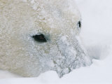 A Close View of a Polar Bears Snow-Encrusted Face Photographic Print by Paul Nicklen