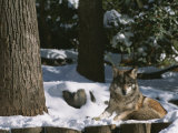 A Gray Wolf on a Sunny Winter Day Photographic Print by Taylor S. Kennedy