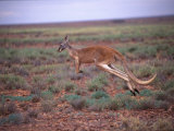 A Red Kangaroo Bounds Across the New South Wales Countryside Photographic Print