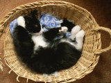 A Black-And-White Domestic Short-Hair Kitten Sleeps in His Basket Photographic Print by Brian Gordon Green