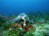 An Endangered Hawksbill Turtle Feeds on a Sponge Photographic Print by Brian J. Skerry