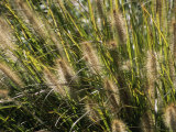 Close View of Grasses Growing in the Chicago Botanic Garden Photographic Print by Paul Damien