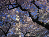 Japanese Cherry Blossoms Frame a View of the Washington Monument Photographic Print by Medford Taylor