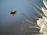 Seen Frozen in Flight, a Bee Carries Pollen Towards a Big White Flower Photographic Print by Stephen St. John