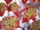 Red Maple Leaves Photographic Print by George F. Mobley
