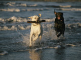 A Chocolate Labrador Retriever Chases after a Stick-Carrying Yellow Labrador Retriver Lámina fotográfica por Roy Toft