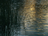 Sunlight Reflects on Rippled Water with Silhouetted Grasses Photographic Print by Raul Touzon