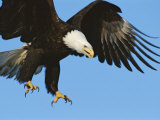 A Bald Eagle in Flight Photographic Print by Paul Nicklen