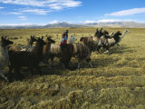 A Herder Walks Her Flock of Llamas Towards Lake Titicaca Photographic Print by Kenneth Garrett