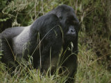 A Silverback Mountain Gorilla in Rwandas Virunga Mountains Photographic Print by Michael Nichols