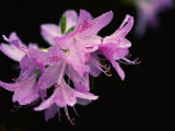 Close View of a Pink Azalea with the Stamen Jutting Out Photographic Print by Brian Gordon Green