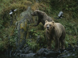 A Pair of Grizzly Bears Spook Some Birds at Waters Edge Photographic Print by Karen Kasmauski