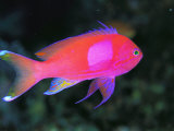 A Colorful Squarespot Anthias Fish, Pseudanthias Pleurotaenia Photographic Print by Tim Laman