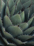 Close View of an Agave Plant Photographic Print by Michael Melford