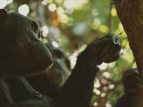 Chimp Fishing for Ants in a Tree Using a Twig Photographic Print by Michael Nichols