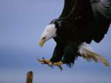 An American Bald Eagle Brakes for a Landing Photographic Print by Paul Nicklen