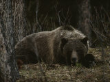Grizzly Bear (Ursus Arctos Horribilis) Lying Down in the Woods Fotografiskt tryck av Michael S. Quinton