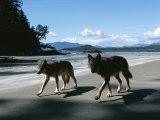 A Pair of Wolves Walk Along the Beach Fotografisk trykk av Joel Sartore