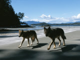 A Pair of Wolves Walk Along the Beach Photographic Print by Joel Sartore