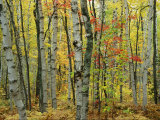 An Autumn View of a Birch Forest in Michigans Upper Peninsula Fotografisk tryk af Medford Taylor