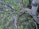 Texas Madrone Tree Limbs (Arbutus Texana) Photographic Print by Michael Melford