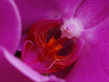 A Close View of the Inside of a Moth Orchid Photographic Print by George F. Mobley