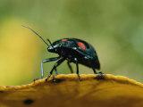 An Australian Ladybug Crawls Along the Edge of a Leaf Photographic Print by Roy Toft