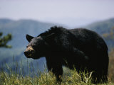 Black Bear Photographic Print by Dick Durrance