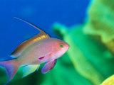 A Scalefin Anthias Fish, Anthias Squamipinnis Reproduction photographique par Tim Laman